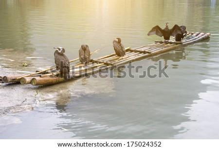 cormorants and bamboo raft - stock photo