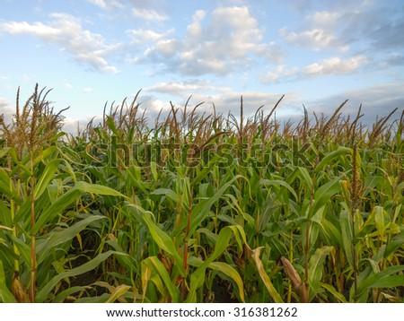 Corn. - stock photo