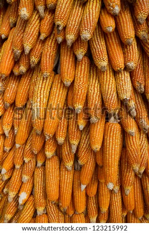 Corn background/Yellow corn arranged as a background