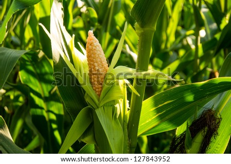 corn cob on a field in summer - stock photo