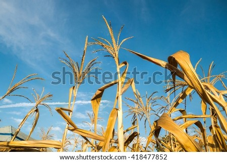 Corn crops died due to drought with blue sky - stock photo