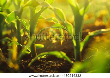 Corn crops growing in field, sunlight flare, selective focus - stock photo