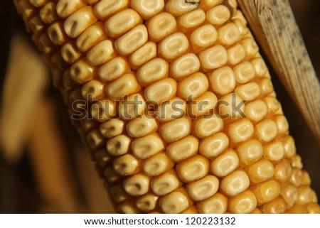 Corn detail - stock photo
