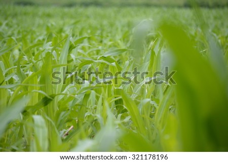 Corn farm in thailand