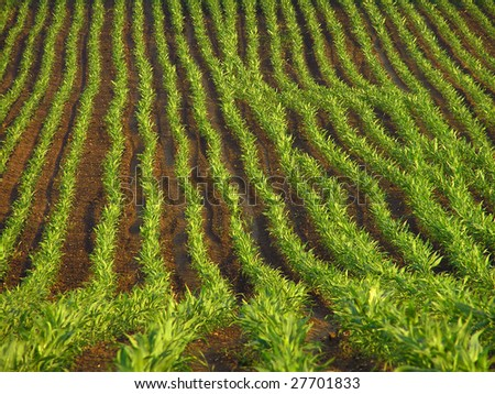 Corn field. - stock photo