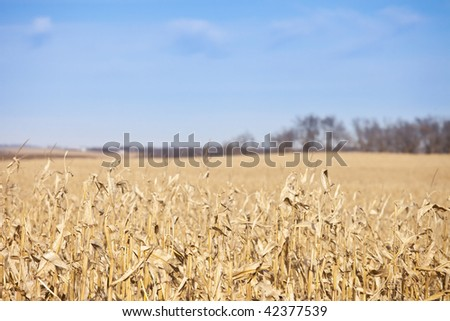 corn field as far as the eye can see and blue sky and room for copy - stock photo