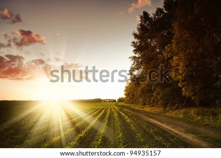 Corn field at sunset - stock photo