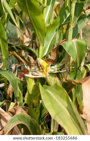 Corn field damaged by severe, extended drought and diseases of plants - stock photo