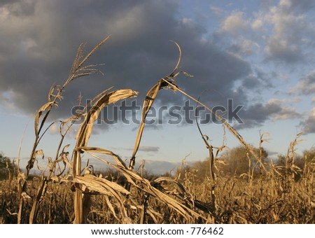 Corn field in autumn - stock photo