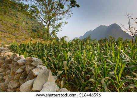 Corn field in Cao Bang province. Caobang is North East province of Vietnam near China