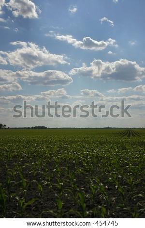 Corn field in early Summer - stock photo