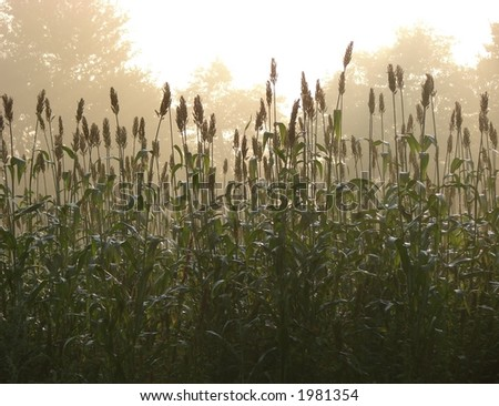 Corn field in soft morning fog sunlight haze over maze - stock photo