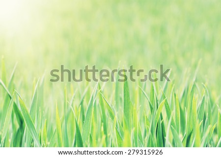 Corn field in sun rays. Agricultural background. - stock photo