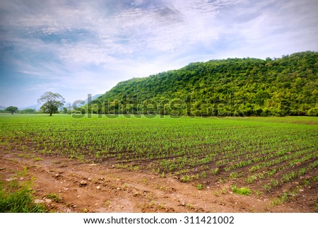 Corn field landscape view of field with sprouting crops and blue sky,Thailand - stock photo