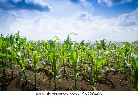 Corn field on a summer day with blue sky - stock photo
