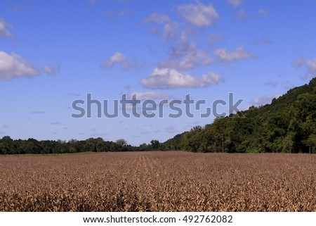 Corn field on a sunny late summer day; dry corn