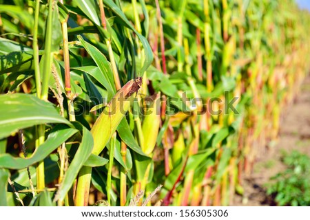 corn field on the stalk ready for harvest - stock photo