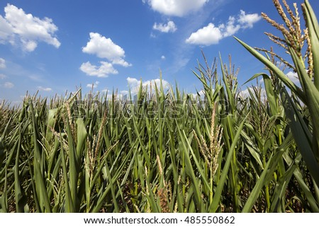 Corn field, summer