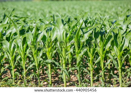 Corn field sunny summer day. Close-up. Focus on foreground - stock photo