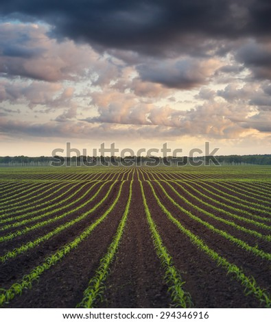 Corn field. The lines in nature. Morning landscape - stock photo