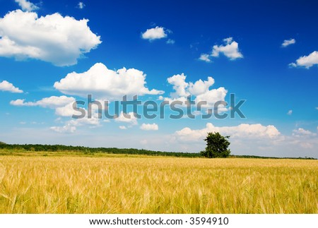 Corn field, tree and blue cloudy sky (ideal for background or wallpaper)
