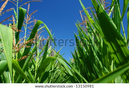 Corn field under blue sky detail - stock photo