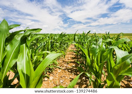 corn field under blue sky in France - stock photo