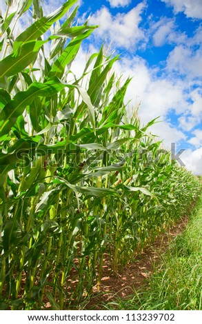 Corn field under blue sky with some fluffy clouds - stock photo