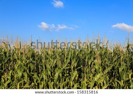 Corn field with blue sky and some small white clouds. Focused on the corn field horizon. Landscape, nobody