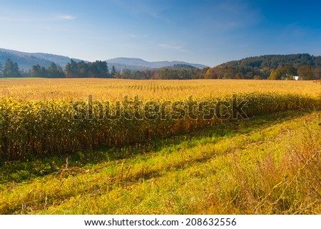 Corn field with the Stowe Community Church in the background, Stowe Vermont, USA - stock photo