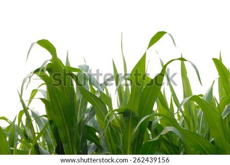 corn fields on white background - stock photo