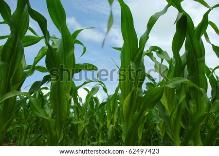 Corn good harvest at the enterprises of Belarus - stock photo