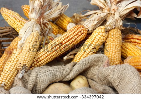 corn grain for food, feed or organic farming