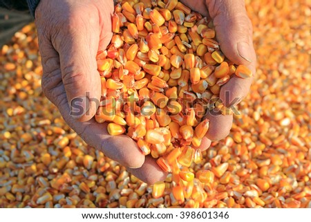 Corn grain in a hand after good harvest of successful farmer - stock photo