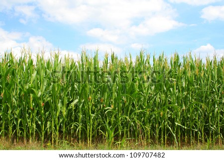Corn green field