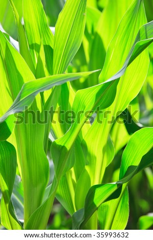 Corn growing in field, pure green background - stock photo