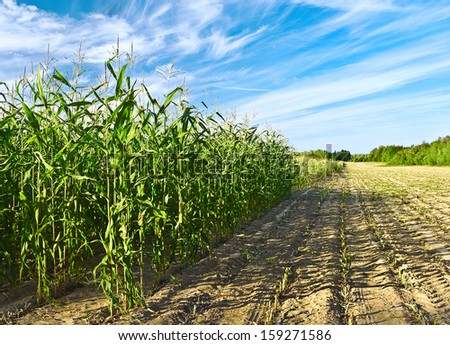 Corn harvest for a cattle feed - stock photo