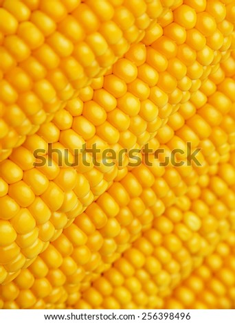 corn in detail - stock photo