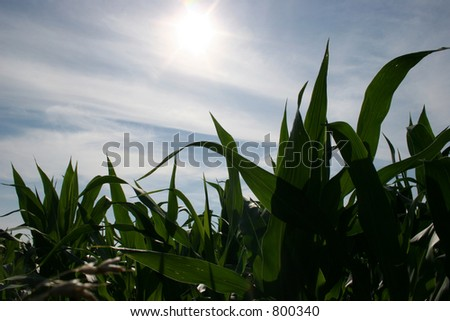 Corn in Early Summer - stock photo