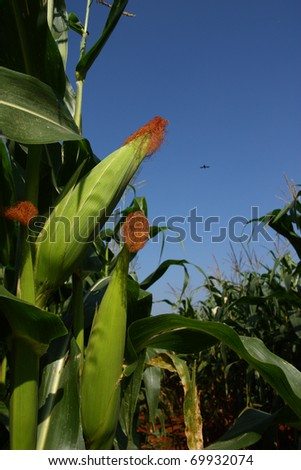 Corn in the farm - stock photo