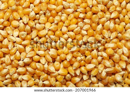 Corn kernels arranged as the background - stock photo