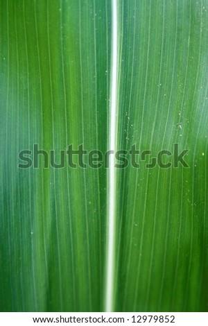 corn leaf detail - stock photo