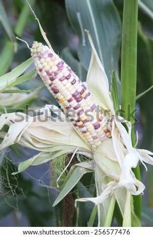 Corn on the corn plants. - stock photo