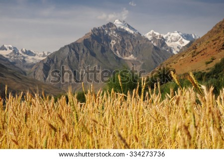 Corn on the field in high mountains, Himalayas, Ladakh, India - stock photo