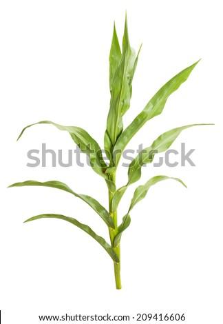 corn plant isolated - stock photo