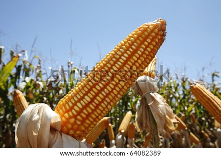 corn plantation for industrial use - stock photo