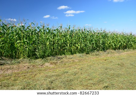 Corn plantation in late afternoon - stock photo