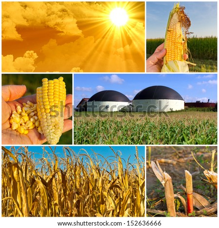 Corn planting - bio gas production - stock photo