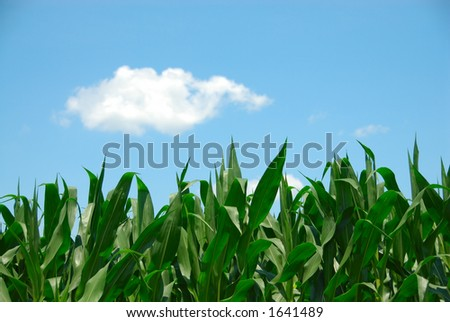 Corn plants reaching for the bright blue sky and pure white clouds. - stock photo