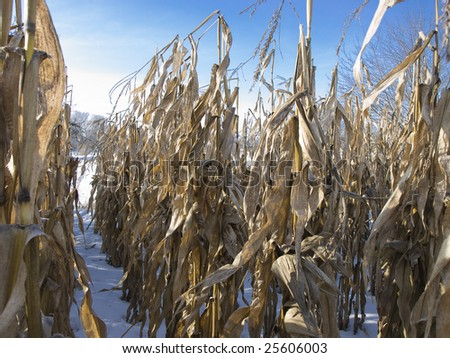 Corn pods field